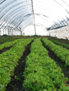 hoophouse lettuce production