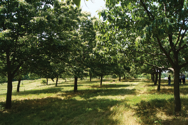 chestnut orchard