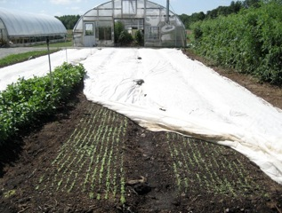 germinating seeds under row cover