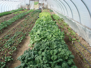 greens in hoophouse